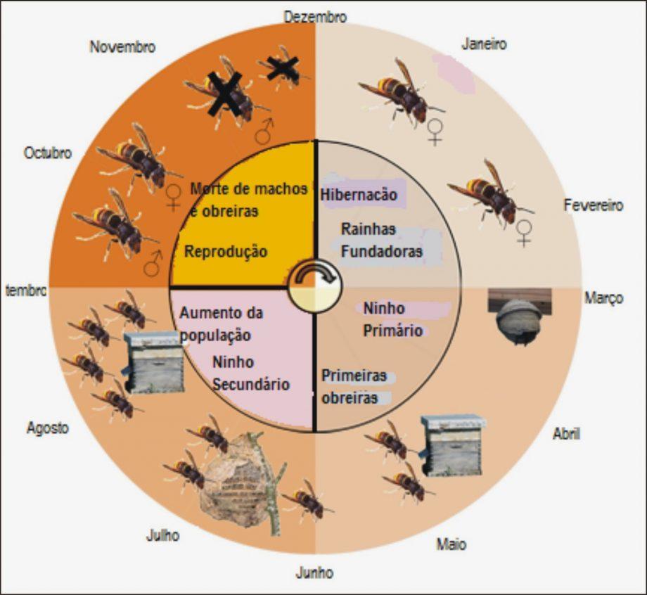 vespa-asiática
